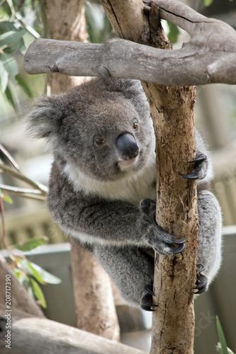 Canvas Prints Koala an Australian koala