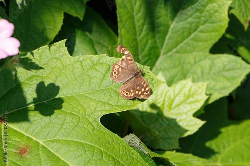 Fotografie, Obraz  Papillon Tircis avec une aile déchirée sur une feuille