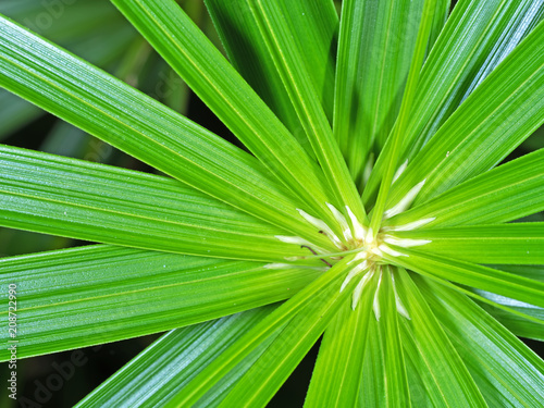 Fotografia, Obraz Closeup Umbrella Sedge or Cyperus alternifolius