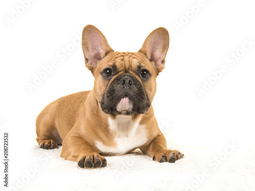 Deurstickers Franse bulldog Brown french bulldog seen from the side lying down on a white blanket looking at camera