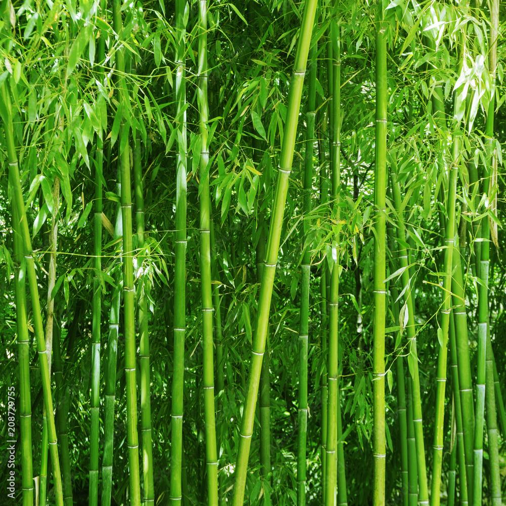 Bamboo grove. Bright green slender trunks