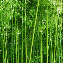 Bamboo Grove. Bright Green Sle...