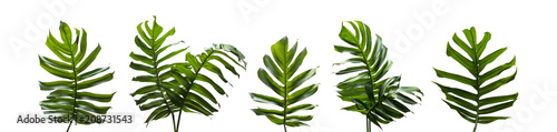 Monstera miltiple, Tropical leaves set isolated on white background, Green leaves of Philodendron, rainforest plant.