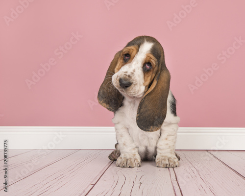 Cute tricolor basset hound puppy sitting looking cute at the camera ...