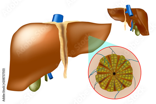 Microscopic anatomy of the liver - hepatic lobules. The medical ...