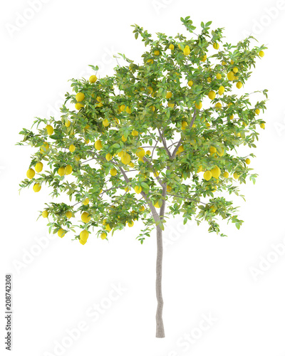 lemon tree with lemons isolated on white background