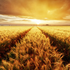 Fototapeta Wiejski Gold Wheat flied at sunset, rural countryside