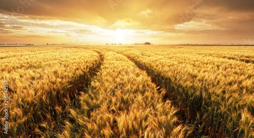 Poster Marron chocolat Panorama of wheat field at sunset