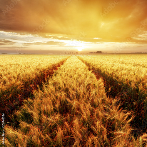 Poster Marron chocolat Gold Wheat flied at sunset, rural countryside