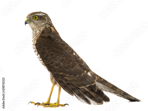 falcon isolated Canvas Print