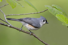 Tufted Titmouse Perched In Wit...