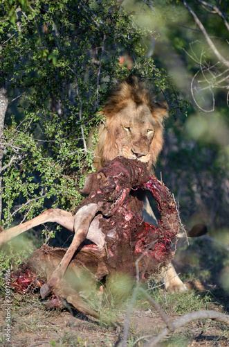 Male lion with prey near Kruger National Park, South Africa