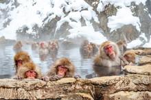 Macaque Troop In Water, Jigokudani Monkey Park