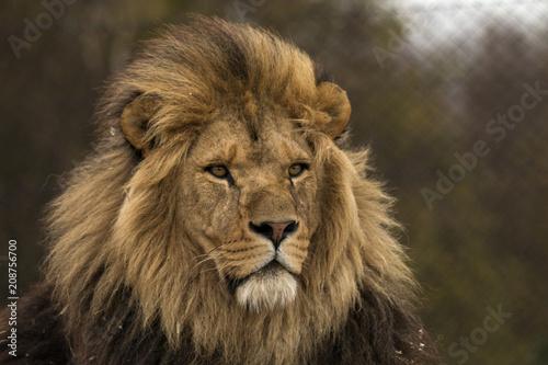 Staande foto Leeuw Safari Park Lion