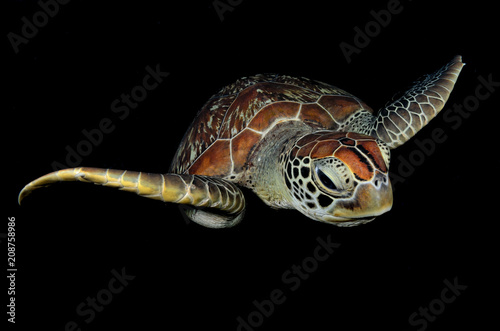 Obraz na dibondzie (fotoboard) Zielony żółw