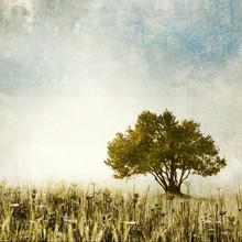 Olive Tree In Meadow Of Wild G...