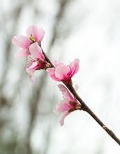 Peach Blossoms Against Grey Sky