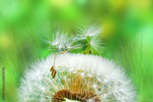 Ripe dandelion seeds close-up, spring beautiful landscape, selective focus, macro