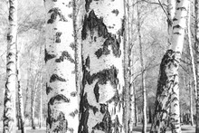 Black-and-white Photo With White Birches With Birch Bark In Birch Grove Among Other Birches