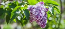 Lilac On Green, Natural Backg...
