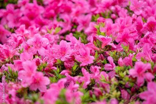 Foto op Canvas Azalea Close-up on many pink small field of flowers.