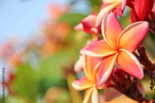 Tuinposter Frangipani the colorful plumeria in the garden