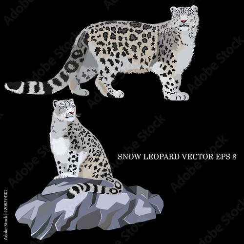 Fototapeta premium Snow leopard sitting on a rock and walking