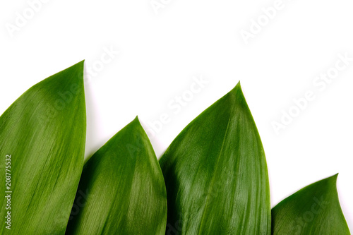 Foto op Aluminium Lelietje van dalen Background of green leaves of lily of the valley. isolated.