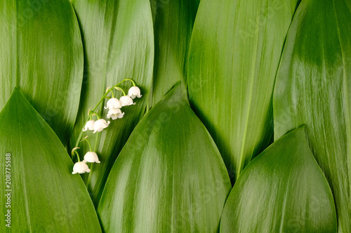 Background of green leaves of lily of the valley with flower. Texture.