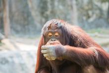 Orangutan Sit And Play At The Zoo