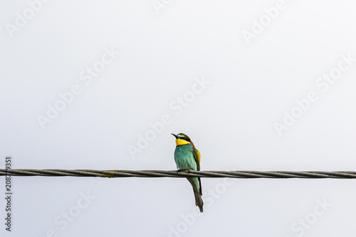 Bee-eater sitting on a wire
