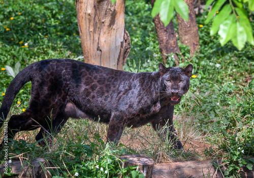 Tuinposter Panter Black Panther.