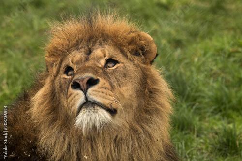 Fotobehang Leeuw Safari Park Lion