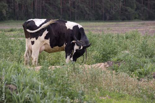 Poster de jardin Vache Cow on a summer pasture