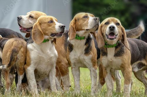 Photographie meute de beagles