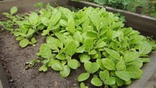 Chinese Cabbage Seeding Growing In An Organic Garden Bed.