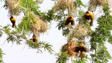 Yellow Masked Weaver Birds Hanging From Nests In Tree In Uganda, Africa.