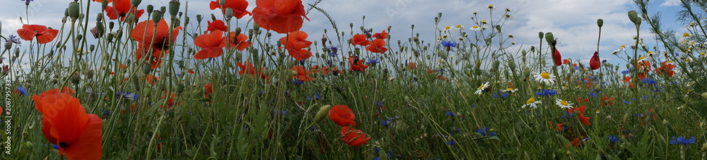 Fototapety, obrazy: Pole ,pole w kwiatach ,pole usłane makami chabrami i rumiankiem ,panorama pola