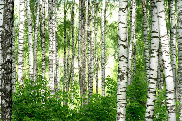 Fototapeta Do salonu summer in sunny birch forest