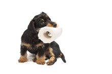 Dachshund Puppy Playing With A Roll Of Toilet Paper