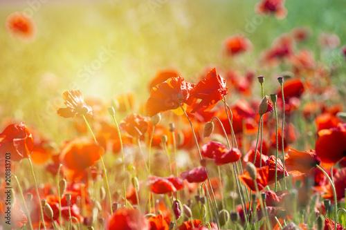 Fotobehang Poppy Poppy flower or papaver rhoeas poppy with the light
