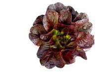 Organic Dark Gaugin Lettuce