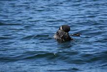 Loon Grooming In Lake