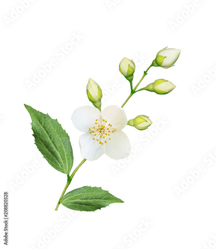 Stampa su Tela branch of jasmine flowers isolated on white background.
