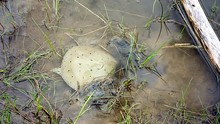 Endangered Spiny Softshell Turtle Buries Into The Mud At The Edge Of A Pond.