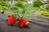 Strawberry on black spunbond, June
