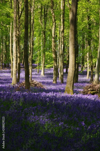 Garden Poster Pistachio Bluebell wood in UK