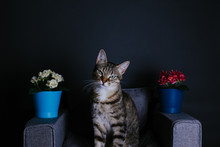 Tabby Cat Sitting In A Tiny Gray Sofa With Pots Of Flowers On The Sofa Arms
