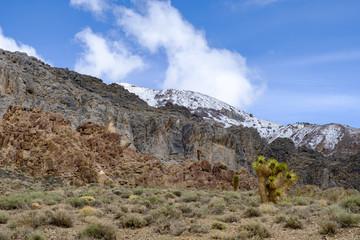 Joshua trees growing wild on the slopes of the white mountains of California