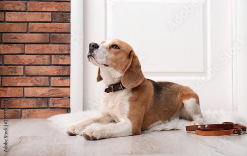 Cute Beagle dog lying and leash on floor near door Wallpaper Mural